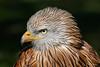 Red Kite Close Portrait (Ukfalc) Tags: redkite milvusmilvus kite bird birdofprey raptor icbp internationalcentreforbirdsofprey newent gloucestershire canon 7dii 70300l 2018