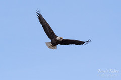 Female Bald Eagle stretches her wings - 1 of 30