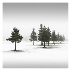 Escort II (Vesa Pihanurmi) Tags: spruce conifers tree trees winter snow nature minimalism espoo finland