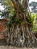 photo - Wat Mahathat, Ayutthaya (Jassy-50) Tags: photo ayutthaya thailand watmahathat buddha buddhisttemple buddhashead head banyantree treeroots tree bodhitree bodhi banyan unescoworldheritagesite unescoworldheritage unesco worldheritagesite worldheritage whs archaeology archeology ancient ruins