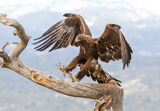 Golden Eagle