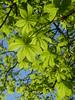 Horse Chestnut Leaves, Nunhead Cemetery (Nigel Turner) Tags: saveearth leaves leaf horsechestnut chestnut