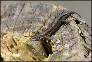 Common Lizard (image 2 of 2)