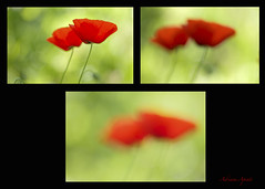 23 aprile 2018, astrazioni in rosso (adrianaaprati) Tags: april flowers colors poppies spring blur light red green abstractions triptych