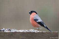 _MG_5143 Bouvreuil pivoine ♂ (Bachibouzouk007) Tags: bouvreuilpivoine oiseau