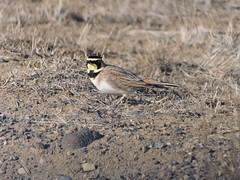 Horned Lark at Fort Road (Nicolas Forestell) Tags: eremophilaalpestris eremophila alaudidae hornedlark lark bird birds fortroadoregon fortroad fortrd deschutescounty deschutes centraloregon oregon