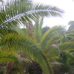 La Gomera (Spain's Canary Islands) - majestic palm trees thumbnail