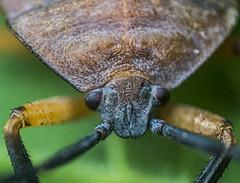 IMG_0925 (Maruf Shimanto) Tags: macro photography bangladesh reversed 1855lens insect