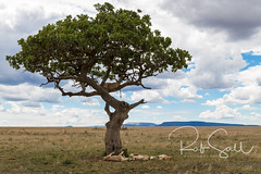 Tree Climbing Lions of the Serengeti (robsall) Tags: 2016 24105 24105f4isusm 5dm3 5dmark3 5dmarkiii 5dmiii africa africatourism africawildlifephotography africanwildlife big bigcat bigcats canon canon24105f4isusm canon24105mm canon5d canon5dmarkiii canon5dm3 canoneos canoneos5dm3 carnivore cat endangered family feline largefelines lion lioness lions mammal pantheraleo predator robsallaeiral robsalldrone robsalldronephotography robsallphotography robsallwildlifephotography serengetinationalpark tanzania tanzania2016 treeclimbinglion treeclimbinglions vacation vulnerable mararegion