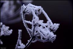 Le Lude (Sarthe) (gondardphilippe) Tags: lelude sarthe maine paysdelaloire macro gel froid nature freeze fleur flower