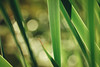 Timeless Elegance (preze) Tags: gras gräser leaf pflanze plant outdoor tiefenschärfe romantisch delicate harmonic harmony schärfentiefe light licht bokeh efs18135 green grün