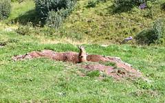 Marmot (jpkrone) Tags: murmeltier