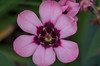 Sparaxis (harlequin flower) diversity (atgc_01) Tags: pentaxk5iis helios44m6 sparaxis harlequinflower diversity macro closeup extensiontube