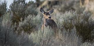 Scrub Deer