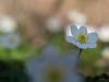 Spring (Meinersmann, Thomas) Tags: 60mmf28macro makro natur omdem1 olympus thomasmeinersmann wildblumen blüte frühblüher buschwindröschen macrounlimited