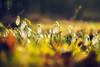 Spring awakens (Pavel Cervenka Photographer) Tags: forest snowdrop flower plant light sun afternoon spring warm nature detail soft bokeh czech republic knezpole pavelcervenka macro