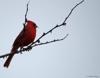 Cardinal in a Redbud Tree.
