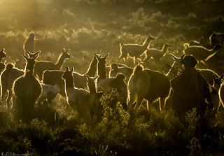 Llama parade