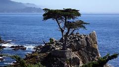 ~The Lonely Tree~ (~☮Rigs Rocks☮~) Tags: rigsrocks lonecypress monterey centralcoast spanishbay montereycypress cupressusmacrocarpa hesperocyparismacrocarpa pebblebeach lifeexpectancy2000yo pointlobos seventeenmiledrive