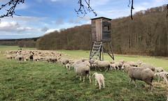 Osterwanderung (G.Hoelzel) Tags: lämmer schafe osterlämmer dahenfeld neckarsulm ostern auen felder schäfer aschafe
