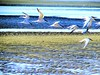 Terns (thomasgorman1) Tags: flock birds terms wildlife canon beach shore lowtide baja mx mexico outdoors nature