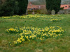 Wild Daffodils in the Churchyard (Hector Patrick) Tags: dng flickrelite fujifilmxpro2 fujinonxf18135lmoiswr lightroom614 northyorkmoors northyorkshire provia rosedaleabbey yorkshire britnatparks churchyard daffodils narcissus fuji printemps spring