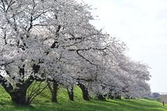 cherryb18449 (tanayan) Tags: cherry blossoms flower sakura kiso nagara river gifu japan nikon 岐阜 日本 桜 さくら 木曽川 長良川 v3