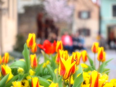 TULIPS 2018 P4023183 (hans 1960) Tags: tulips tulpen blumen flower farben bokeh colours spring frühling house haus tree red rot gelb yellow people nature natur outdoor germany bee insekt biene gimmeldingen
