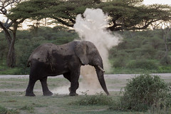Puff!!! (Hector16) Tags: ndutu wildebeestmigration eastafrica tanzania wildlife serengeti migration nature ngc npc