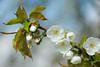 it-giet-oan (Don Pedro de Carrion de los Condes !) Tags: donpedro d700 lente spring voorjaar bloesem kersenbloesem closeup natuur heerlijk lenteboden ontluiken vruchtboom bongerd kersen