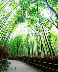 The sacred path through Arashiyama's bamboo forest (Kyoto, Japan 2015) (Alex Stoen) Tags: 500px alexstoen alexstoenphotography arashiyamabamboogrove bamboo canoneos1dx ef1635mmf28liiusm flickr forest geotagged google japan ngexpeditions natgeo nationalgeographicexpeditions perspective puntodefuga travel vacation vanishingpoint facebook leadinglines