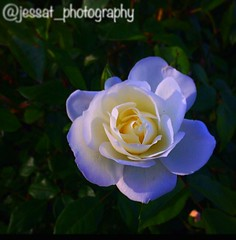 Sweet Serenity (jessat_photography) Tags: contrast shadows hues purple petals iphonephotography naturephotography nature photography isolated garden manipulation white simple rose beauty