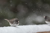 spring flurries (jimmy_racoon) Tags: canon 400mm f56l 5d mk2 birds nature prime winter canon400mmf56l canon5dmk2