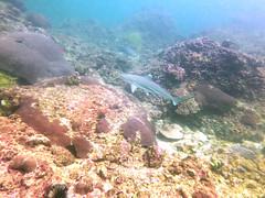shark (euanwhite) Tags: blacktip reef shark diving scuba thailand phuket underwater ocean