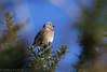 Linotte mélodieuse-Linaria cannabina - Common Linnet 5830_DxO.jpg (Zoizeaux de Gabriel) Tags: 500mmf4 commonlinnet domainedesoiseaux linariacannabina linottemélodieuse mazères nikond5 occitanie oiseauxnet