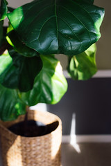 3478 Fig Leaf (JoelZimmer) Tags: 35mmf2d canada manitoba nikond750 plants winnipeg