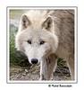 Jeune Loup blanc (Photographie (Val d'Oise)) Tags: borderfx