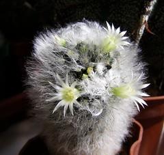 Mammillaria albicoma (Alex_CL) Tags: mammillaria albicoma