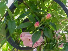 Spring at the Arboretum - 2018 (gttexas) Tags: 2018 arboretum dallas roses tx texas flower usa