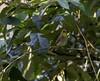 20180407-0I7A9769 (siddharthx) Tags: achampet bird birdwatching birdsofindia birdsoftelangana canon canon7dmkii closerange dawn dawnsunriseumamaheshwaram ef100400f4556isii goldenhour portraiture sunrise telangana umamaheshwaramtemple umamaheshwaram india in yellowthroatedbulbul bulbul tree leaf wood sky forest