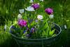 Spring 2018 (janeway1973) Tags: flower blossom blume blüte plant pflanze macro closeup makro nahaufnahme tulips tulpen lawn wiese green bucket bottich