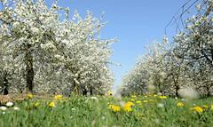 DSC_5779 Blühende Obstbäume / Obstplantage und gelbe Löwenzahnblüten am Ufer der Maas auf den Weg nach Roermond (stadt + land) Tags: blühende obstbäume obstplantage gelbe löwenzahnblüte niederlande roemond hansestadt hanse neuehanse fluss maas rur grenze deutschland einkauf outlet grenzstadt