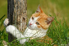 Portrait de jeune chat (didier95) Tags: chat chaton animauxfamiliers portraitdechat