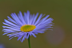 Erigeron (pstenzel71) Tags: blumen natur pflanzen flower spring darktable bokeh berufkraut feinstrahl erigeron fleabane