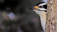 """Anyone got a pencil sharpener ?"" (Bob's Digital Eye) Tags: 2017 animal bird birds bobsdigitaleye canon canonefs55250mmf456isstm fauna flicker flickr hairywoodpecker t3i wildbirds wildlife woodpeckers"