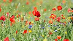 From spring to summer (Elenovela) Tags: mohnblumen poppies wiese meadow spring frühling frühsommer earlysummer blumen flowers gras panasonicgh5 olympus40150mmf28 elenovela karstenmüller