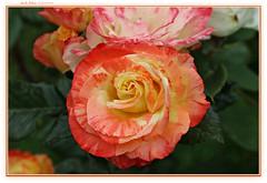 rare beauty... (MEA Images) Tags: roses rosegarden gardens blooms flora nature parks pointdefiancepark tacoma washington canon picmonkey