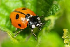 7 spot ladybird (Shane Jones) Tags: ladybird beetle insect wildlife nature nikon d7200 tamron180mmmacro pk3extensiontube pk3x2 canon500d macro macrolife macrophotosnolimits macrolicious