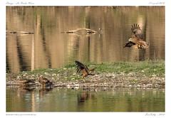 La Roche Noire (BerColly) Tags: france auvergne puydedome larochenoire oiseau bird milannoir blackkite etang pond vol flight bercolly google flickr