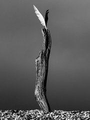 V for Victory! (steveh011) Tags: driftwood drift black white feathers windy beach cloud dark light stones distance log stick sculpture abstract contrast shadow ngc twop bw monochrome 1300d canon eos